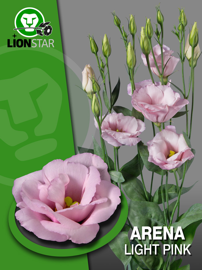 arena light pink