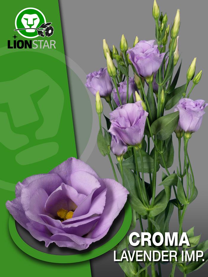 croma lavender imp