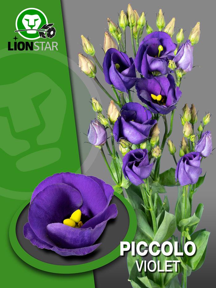 piccolo violet